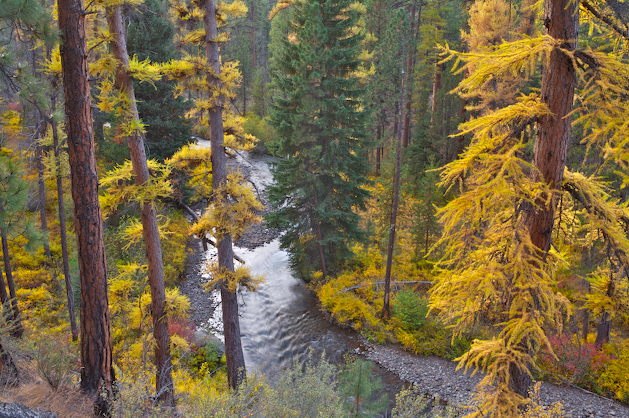 Larch trees in autumn color along Shevlin Park's Tumalo Creek in Bend, Oregon