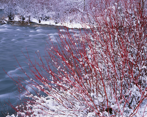 Red Osier Dogwood and the Deschutes River