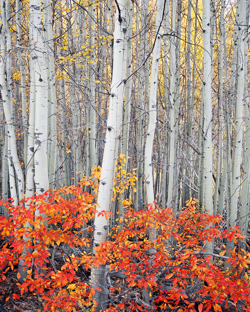 """Autumn Delight"" Central Oregon Aspen Grove"