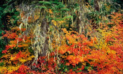 mckenzie pass,fall color,oregon fall color,vine maples,vine maple,autumn color