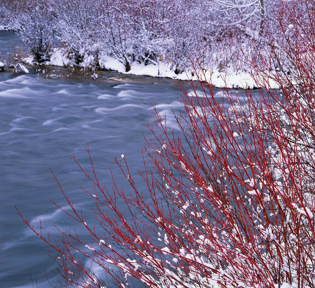 """Red Osier Dogwood"", Deschutes River"