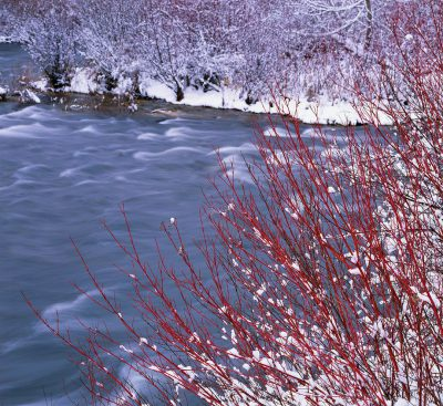 oregon water, osier dogwood,red twig dogwood,deschutes river,bend oregon winter photos,riparian plants