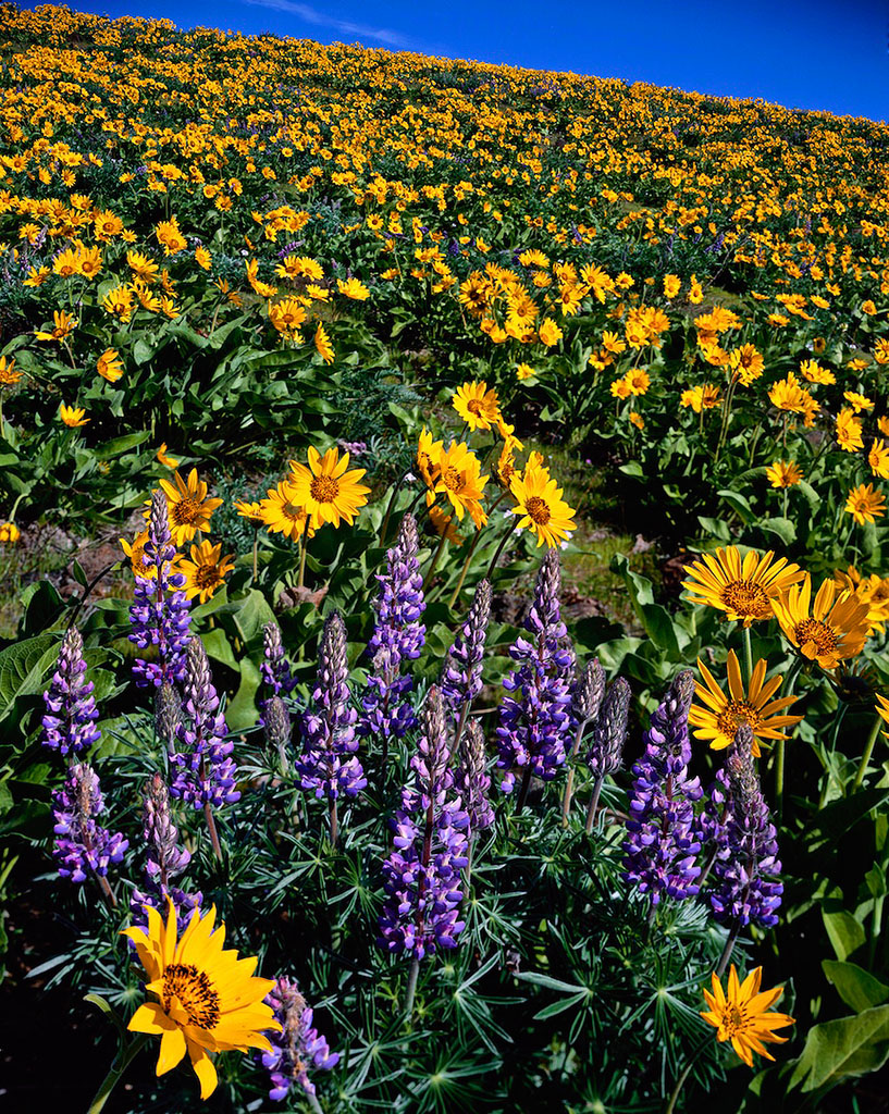 """Balsamroot and Lupines"""