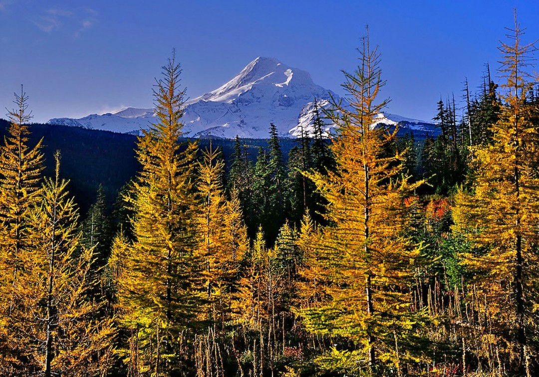 """Mt. Hood Larch Grove"""