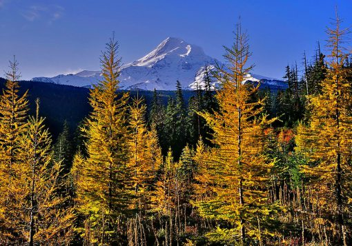 Mt- Hood Larch Grove
