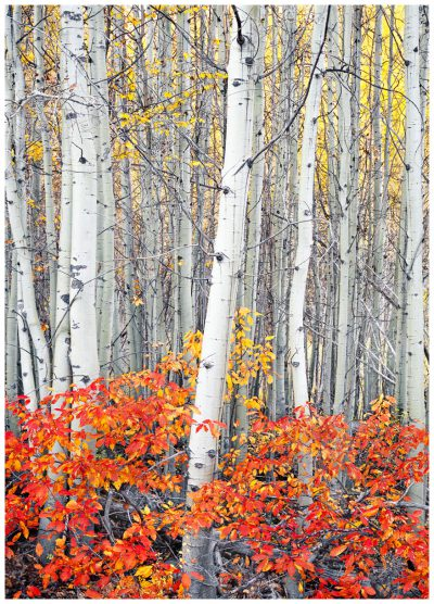 Aspen Trees Greeting Card/Note Card. Deschutes National Forest, near Bend, Oregon