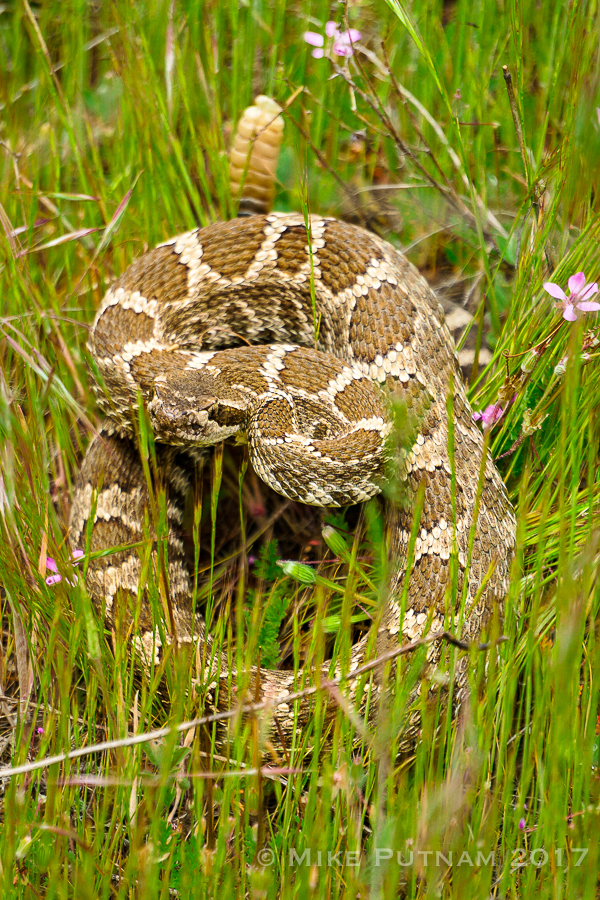 western rattlesnake,oregon rattlesnake,deschutes river,oregon hiking snakes,rattlesnakes in Central Oregon
