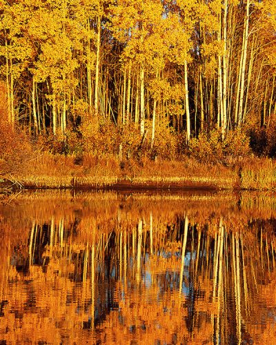 Aspen Trees reflected in the Deschutes River near Bend, Oregon