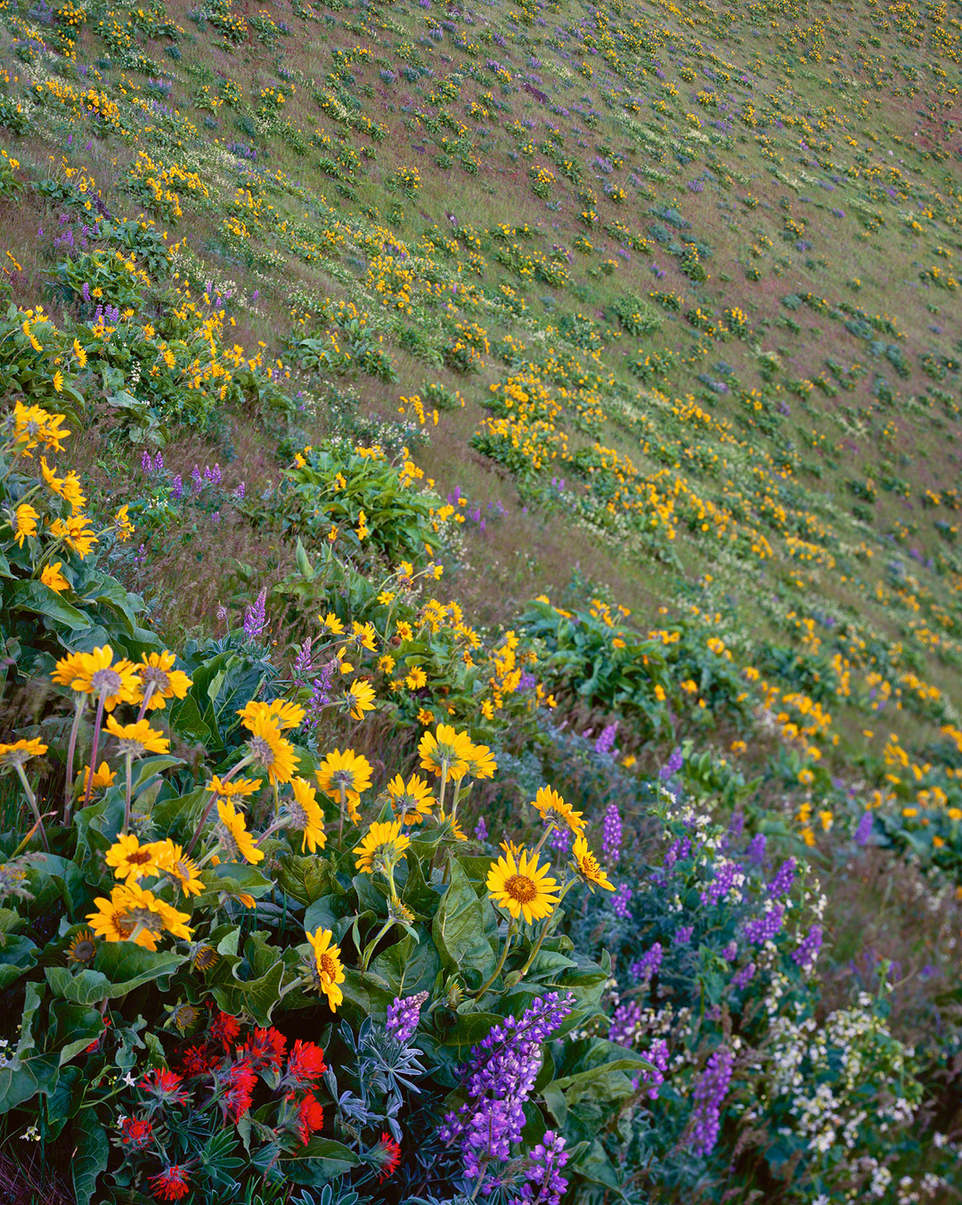 hood river valley,hood river,wildflowers,columbia river gorge,balsam root,indian paintbrush,lupines