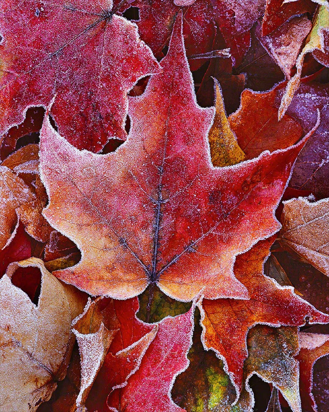 """Frosted Maple Leaves"""