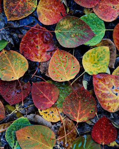 Aspen Leaves, Deschutes National Forest