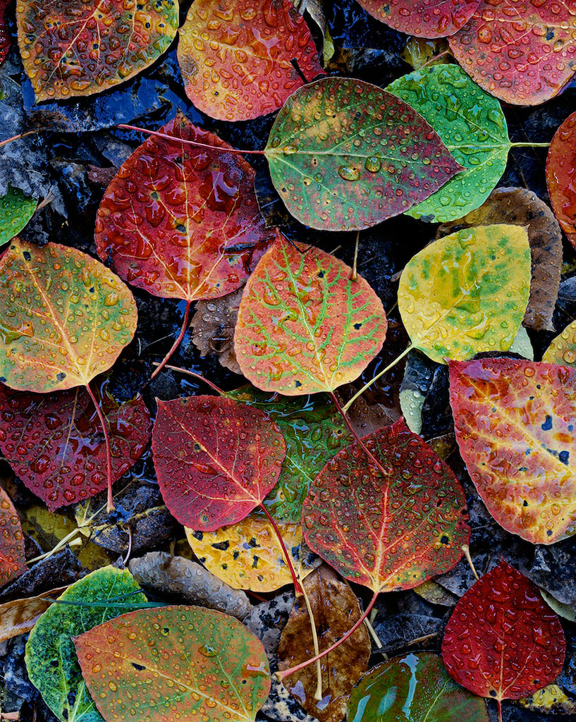 """Aspen Leaves"", Deschutes National Forest"