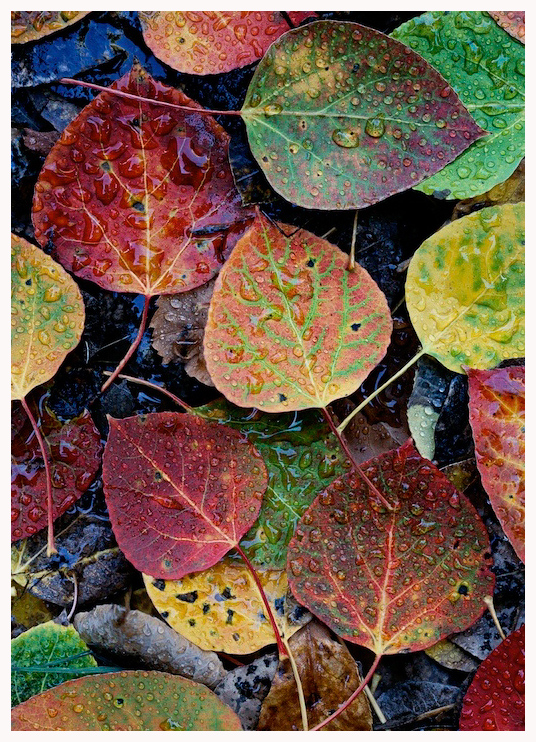 Aspen Leaves Greeting Card