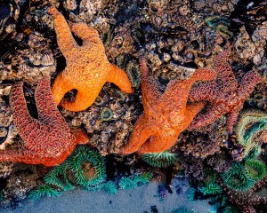 Starfish, Bandon Beach, Oregon Coast