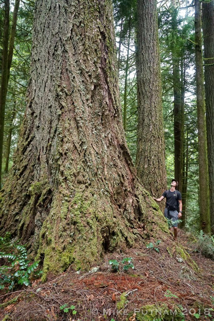 Ancient Old growth tree, Devil's Staircase, Oregon