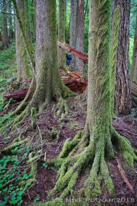 Oregon Old Growth Forest, Devil's Staircase Proposed Wilderness.