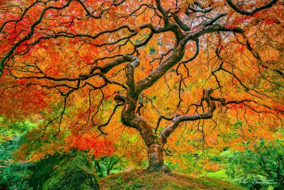 Japanese Maple Tree, Portland Japanese Garden