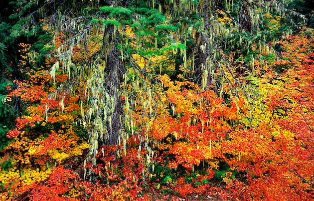 Vine maples in autumn adornment merge with cascading moss in the Oregon Cascades.