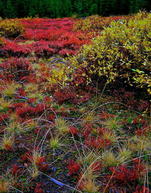 blueberry, huckleberry and willow mix in an alpine meadow near McKenzie Pass.