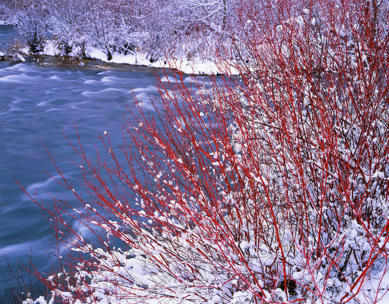 Red Osier Dogwood along the Middle Deschutes River.