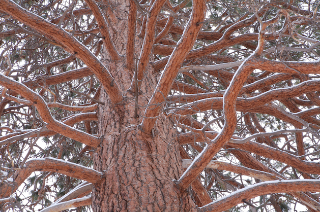 snow covered ponderosa tree in Central Oregon's Tumalo state park near Bend Oregon