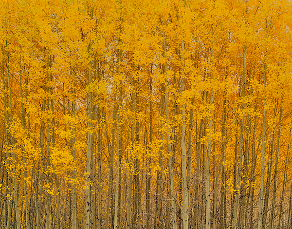 Aspen grove in fall near skyliner drive west of Bend, Oregon