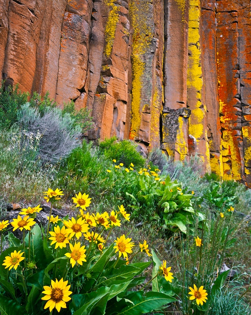 Balsamroot bloom with a back drop of lichen covered basalt columns in Central Oregon's High Desert
