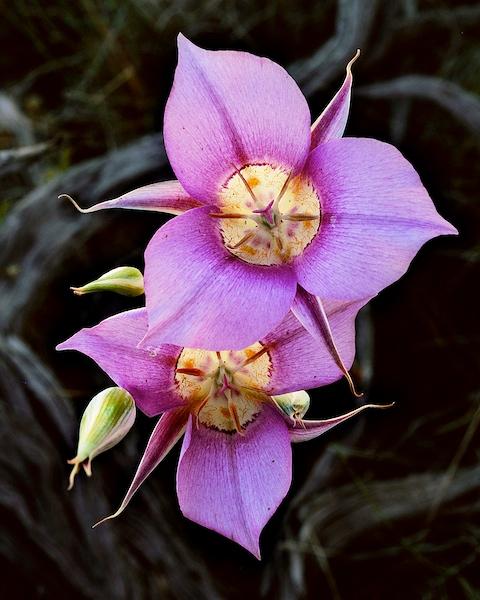 Mariposa Lilies near Bend, Oregon