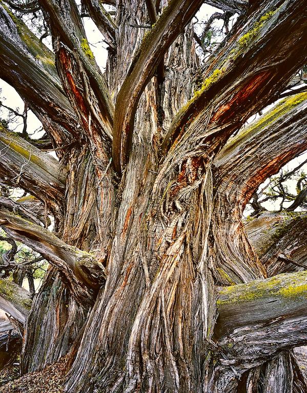 Patriarch Juniper Tree