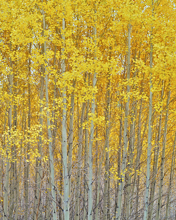 Oregon Aspen Grove
