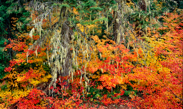 Vine Maples on McKenzie Pass