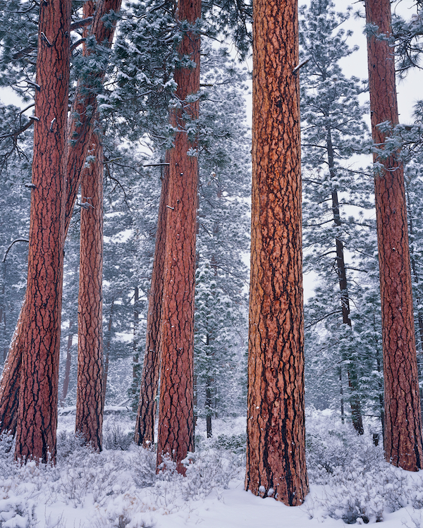 Oregon Ponderosa Pine Tree Grove in Winter