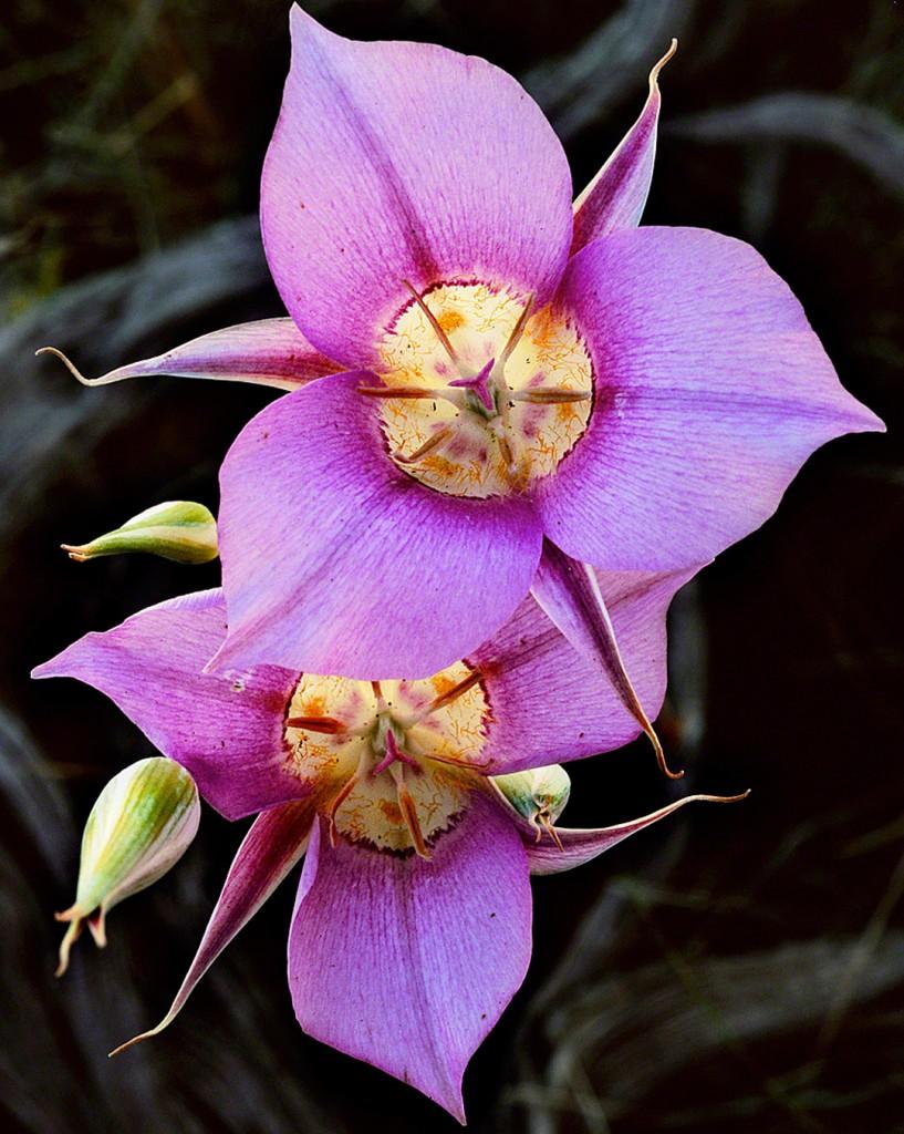maripos lilies,high desert,wildflowers