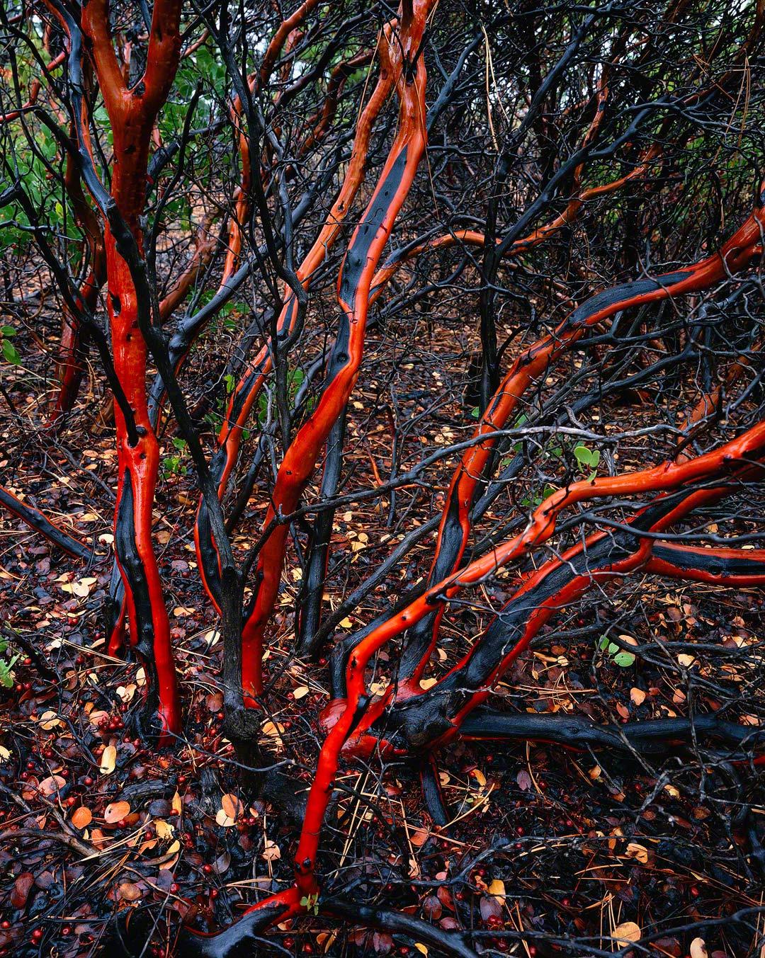 Manzanita Branches, Sisters,Oregon.