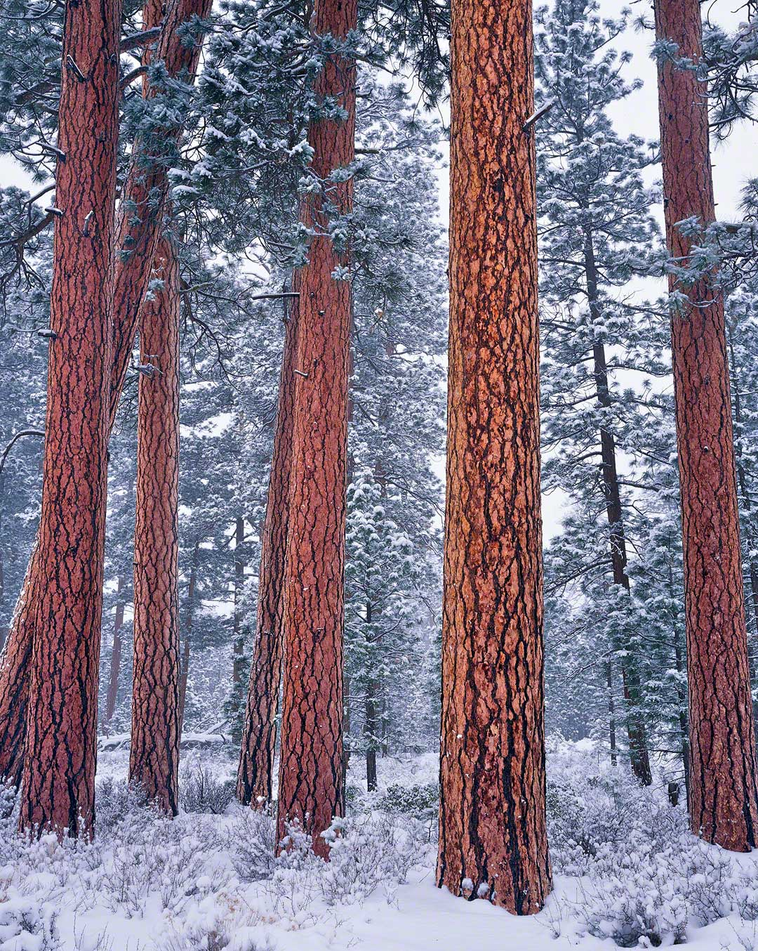 ponderosa grove in winter