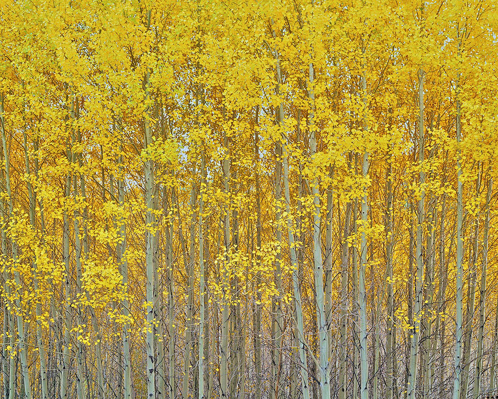Golden Aspen Grove, Bend, Oregon