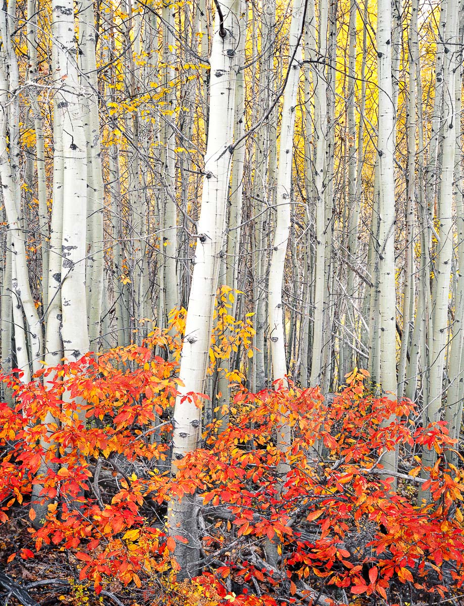 autumn delight, aspen grove, aspen trees, fine art print, fine art landscape photo, fine art landscape photographer