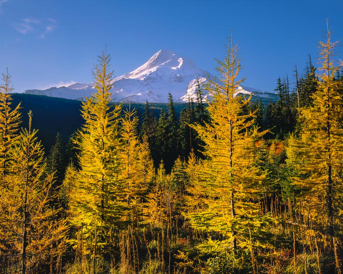 Mt Hood Larch Trees, fall color, tamarack trees, mt Hood National Forest, Hood River Valley