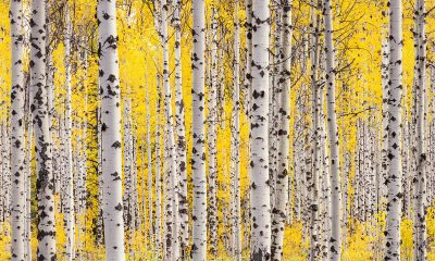 """Aspen Grove"" Fine Art Print"