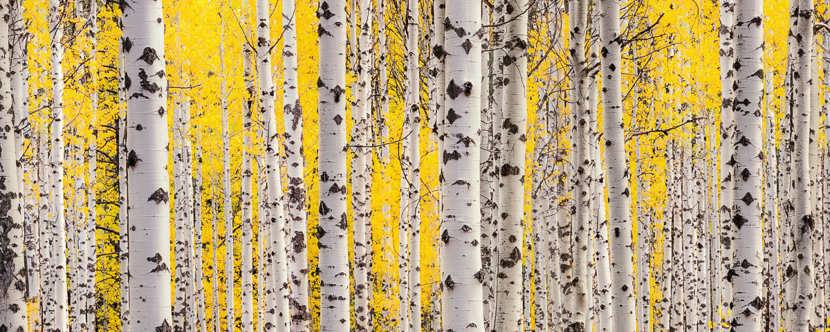 Aspen Grove Panorama Fine Art Print, oregon fall color, autumn aspen trees