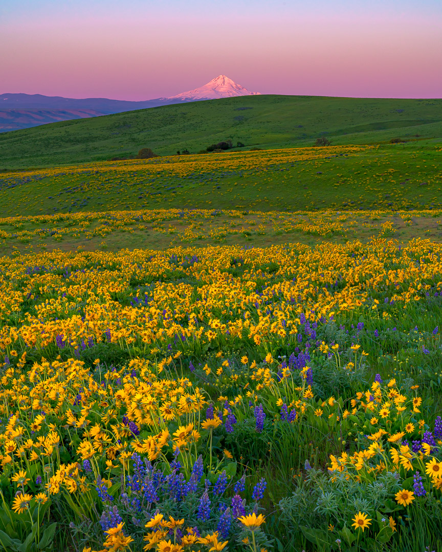 Mt Hood Wildflowers,Dalles Mountain Ranch,balsamroot,lupines,alpenglow