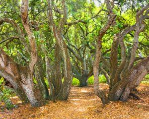 California live oaks,Los Osos Oaks reserve,Central coast